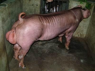 台灣動物科技研究所竹南檢定站9403期D1031-02種公豬拍賣相片