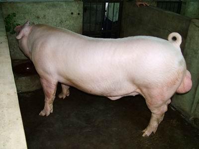 台灣動物科技研究所竹南檢定站9401期L1555-05種公豬拍賣相片
