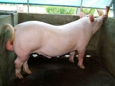 台灣動物科技研究所竹南檢定站9401期Y0121-01種公豬拍賣相片