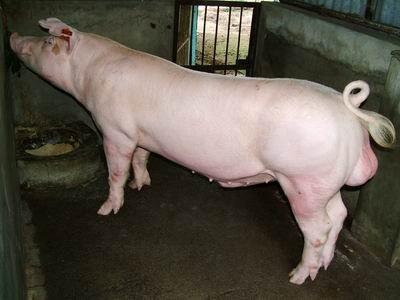 台灣動物科技研究所竹南檢定站9312期L1048-15種公豬拍賣相片