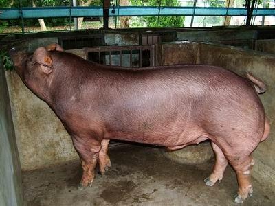 台灣動物科技研究所竹南檢定站9311期D0306-05種公豬拍賣相片
