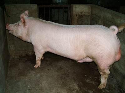 台灣動物科技研究所竹南檢定站9311期Y0449-02種公豬拍賣相片
