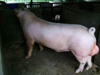 台灣動物科技研究所竹南檢定站9310期L0082-01種公豬拍賣相片