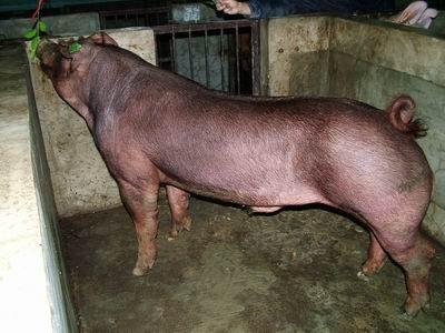 台灣動物科技研究所竹南檢定站9307期D0986-05種公豬拍賣相片