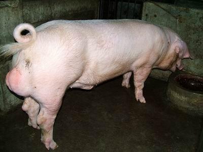 台灣動物科技研究所竹南檢定站9307期L0425-03種公豬拍賣相片