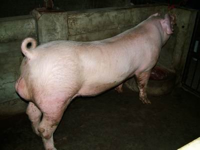 台灣動物科技研究所竹南檢定站9307期L0338-05種公豬拍賣相片
