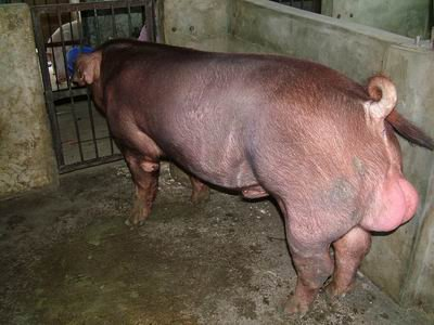 台灣動物科技研究所竹南檢定站9303期D0422-01種公豬拍賣相片