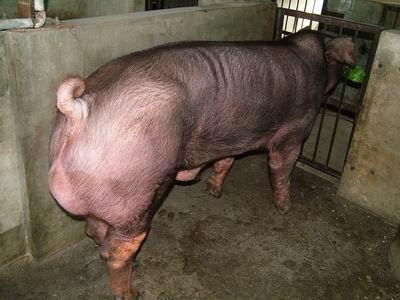 台灣動物科技研究所竹南檢定站9303期D0535-04種公豬拍賣相片