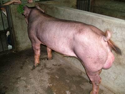 台灣動物科技研究所竹南檢定站9301期D0391-02種公豬拍賣相片