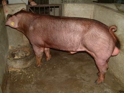 台灣動物科技研究所竹南檢定站9512期D1172-01種公豬拍賣相片