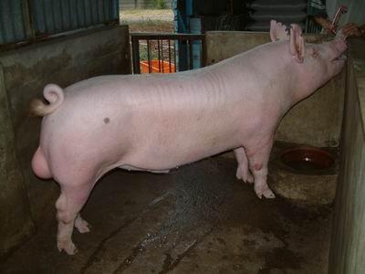 台灣動物科技研究所竹南檢定站9512期Y1181-01種公豬拍賣相片