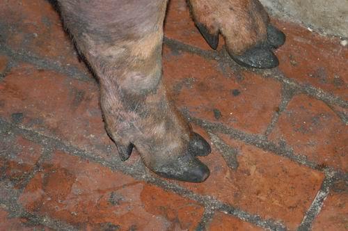 中央畜產會200601期D0028-03體型-四肢相片