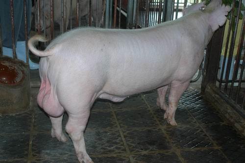 中央畜產會200601期L0657-08體型-全身相片
