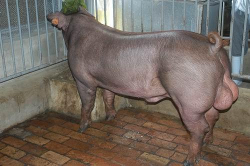 中央畜產會200601期D0267-05體型-全身相片