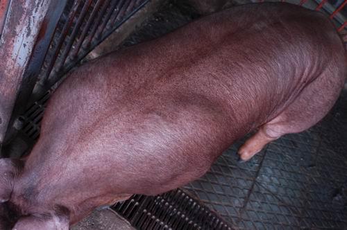 中央畜產會200511期D0791-01體型-體軀相片