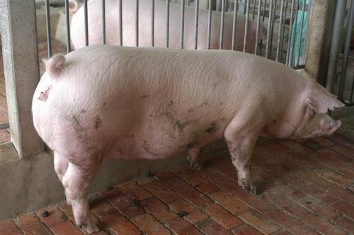 中央畜產會200511期L1737-10體型-全身相片