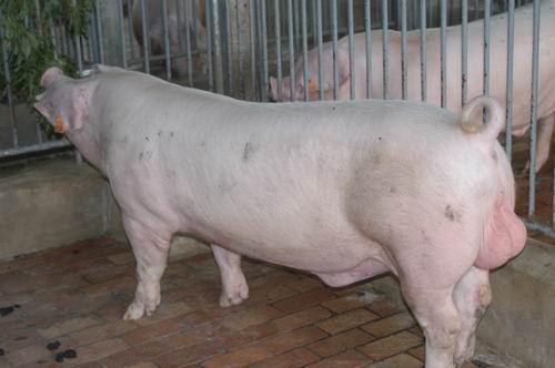 中央畜產會200511期L0606-10體型-全身相片