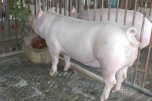 中央畜產會200511期Y0133-10體型-全身相片