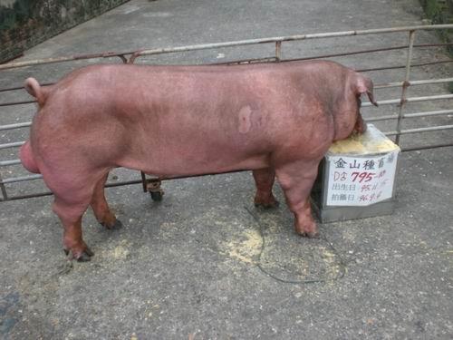 台灣種豬發展協會9606期D0795-10側面相片