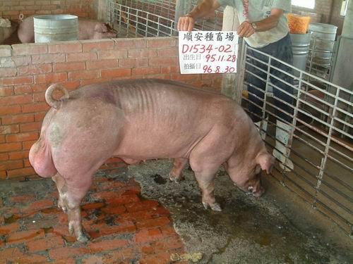 台灣種豬發展協會9606期D1534-02側面相片