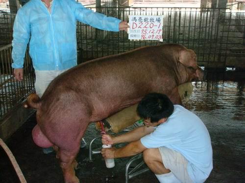 台灣種豬發展協會9606期D0220-01採精相片