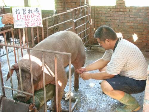台灣種豬發展協會9606期D0360-02採精相片