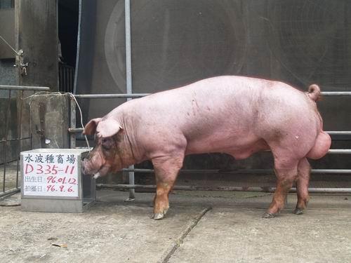 台灣種豬發展協會9606期D0335-11側面相片
