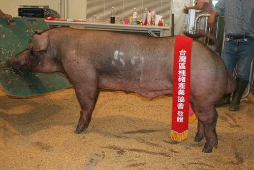 台灣種豬發展協會9606期D1588-03拍賣相片(高價豬)