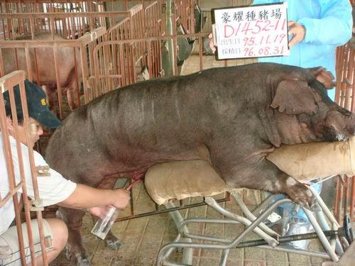 台灣種豬發展協會9606期D1452-11採精相片