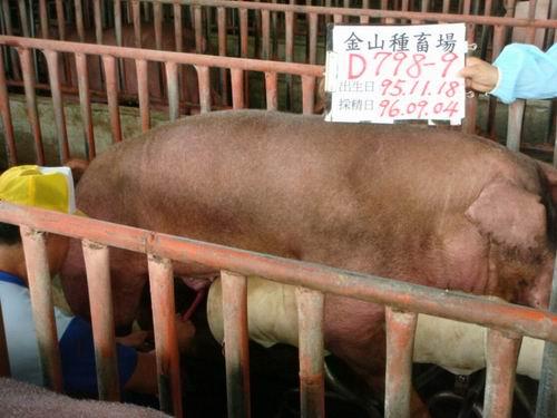 台灣種豬發展協會9606期D0798-09採精相片