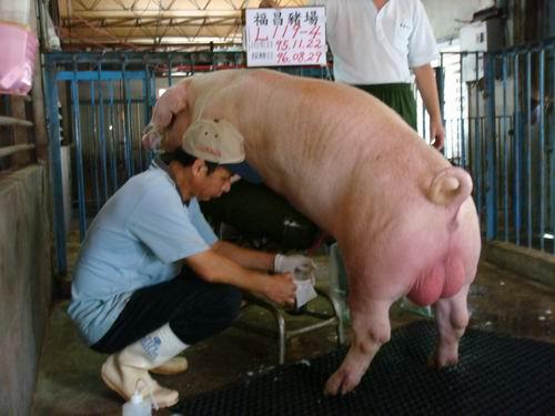 台灣種豬發展協會9606期L0119-04採精相片