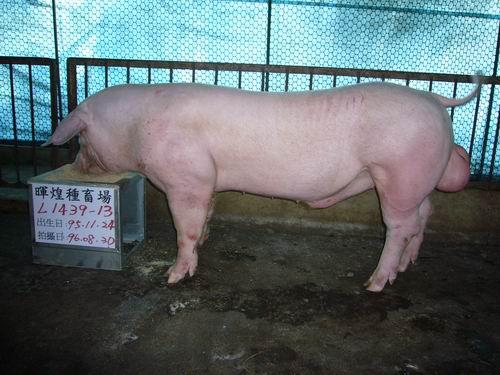 台灣種豬發展協會9606期L1439-13側面相片