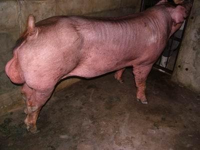 台灣動物科技研究所竹南檢定站9601期D0353-01種公豬拍賣相片