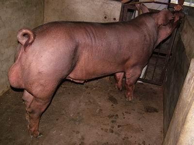 台灣動物科技研究所竹南檢定站9601期D1265-02種公豬拍賣相片