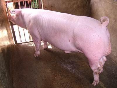 台灣動物科技研究所竹南檢定站9601期L0670-07種公豬拍賣相片
