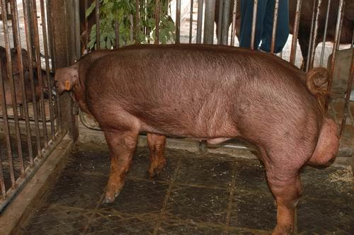 中央畜產會200703期D1266-01體型-全身相片