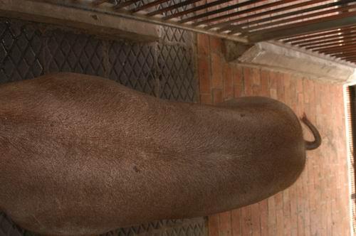 中央畜產會200703期D1571-01體型-體軀相片
