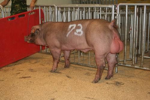 中央畜產會200703期D1570-02拍賣照片(高價豬)