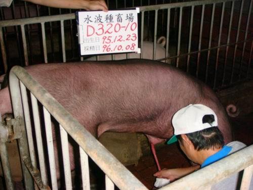 台灣種豬發展協會9607期D0320-10採精相片
