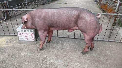 台灣種豬發展協會9607期D0355-08側面相片