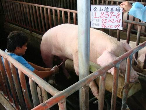 台灣種豬發展協會9607期L0837-08採精相片
