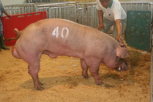 台灣種豬發展協會9607期D1210-02拍賣相片(高價豬)