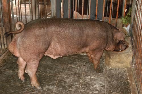 中央畜產會200704期D0377-03體型-全身相片