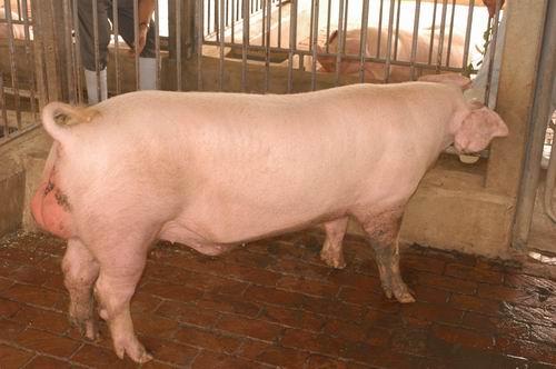 中央畜產會200704期L0161-04體型-全身相片
