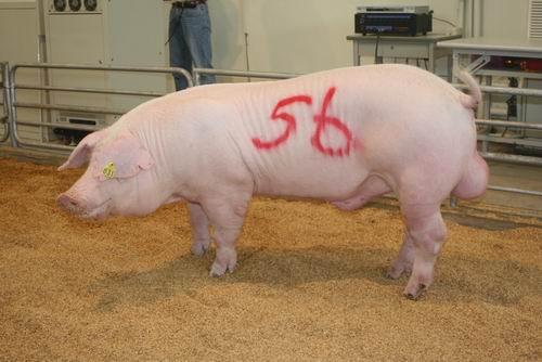 中央畜產會200704期L1489-11拍賣照片(高價豬)