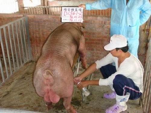 台灣種豬發展協會9609期D1561-02採精相片
