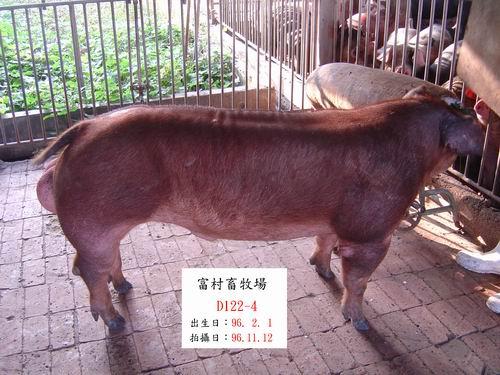 台灣種豬發展協會9609期D0122-04側面相片