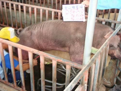 台灣種豬發展協會9609期D0867-10採精相片