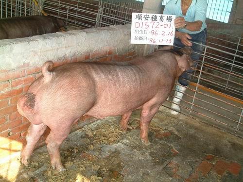 台灣種豬發展協會9609期D1572-01側面相片