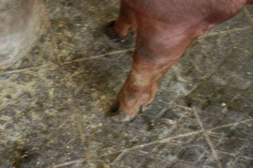 中央畜產會200705期D0941-09體型-四肢相片
